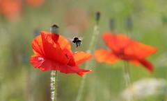 Entre les deux....mon cœur balance... (Callie-02) Tags: abeille macrographie champêtre printemps pavot red jardin nature extérieur canon bokeh proximité profondeurdechamp macro détails transparence lumière couleurs champ bourdon insecte rouge fleur herbes plante coquelicot