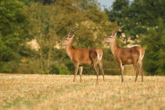 Mirro-red Deer (Stickyemu) Tags: wildlife nature deer reddeer countryside field stag goldenhour sunset nikond500 nikon200500mmf56 suffolk buck