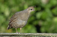 Mom mode (Snixy_85) Tags: californiaquail quail callipeplacalifornica