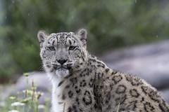 Toronto Zoo 2018 (Rick 2025) Tags: toronto torontozoo mapleleaftours 2018 cats bigcats leopards snowleopards rain