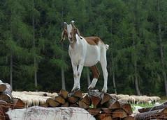 Blick über den Zaun - Ziegen am Mooshof 180809 (naturgucker.de) Tags: ngid2122220619 capraaegagrussubsphircus hausziege