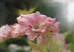 Summer Pink Rose ... (MargoLuc) Tags: pink rose flower summertime petals bokeh sunlight shadows