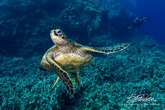 The dude has moves. (bodiver) Tags: hawaii wideangle turtle honu ocean reef blue fins peopleunderwater