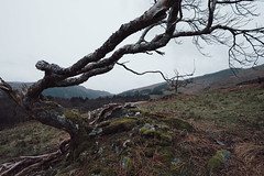 Beddgelert, Wales (lsullivanart) Tags: beddgelert tree wales snowdon snowdonia northwales photography photographer capture shot shooter shoot snap snapshot picture image fuji fujifilm fujix fujinon fujixt2 xt2 fujinon1024 fujinonxf1024 fuji1024 fujifilm1024 winter snow rain autumn clouds weather moody dramatic atmospheric storm sky skies landscape hills rural fields parks valleys views natural beautiful scenery scenic estate trees grounds woods nature grass rocks ngc fells countryside outdoor mountain mountainside wood forest
