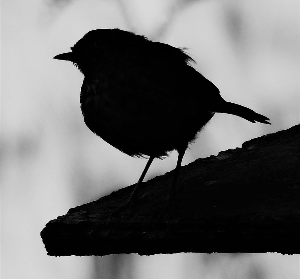 the world s best photos of robin and silhouette flickr hive mind