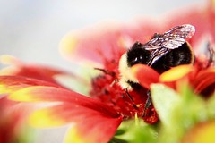 The buzz is real (briannalhendricks) Tags: canonrebelt6 canonrebel canon red bumblebee bee flowerphotography flower