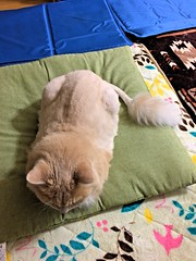 Norio and His Lion Tail (sjrankin) Tags: 2august2018 edited animal cat norio trim tail fur futon livingroom evening kitahiroshima hokkaido japan cushion zabuton