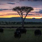 Buffalo Sunset - Masai Mara thumbnail