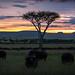 Buffalo Sunset - Masai Mara