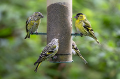 Siskins (marra121) Tags: whitehaven cumbria silver meadow great tit siskin nuthatch trees robin blue