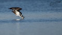Osprey 8_14 5 (krisinct- Thanks for 15 Million views!) Tags: nikon d500 500 f4 vrg