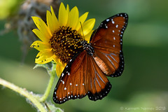 QUEEN 15 (k.nanney) Tags: queen danausgilippus butterfly insect texaswildlife texasinsects northcentraltexas villagecreekdryingbeds arlington texas tx tarrantcounty nikon d500 nikkor300mm afsnikkor300mmf4epfedvr tc14eiii kennethnanney kennanney nanney