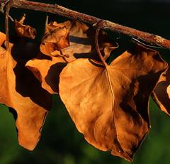 Dried leaves (superhic) Tags: macromondays decay suvi listovi leaf macro