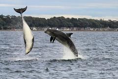 Timing, is everything... (niknok2007...) Tags: dolphin wild water wildlife beach breach bottlenose bottlenosedolphin blackisle rosemarkie fortrose scotland nature niknok2007 nicolaratcliffe nicolaratcliffephotography sea summer seascape