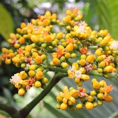 2018-07-27 Leea guineensis - BG Teplice (beranekp) Tags: czech teplice teplitz botanik botany botanic herbarium herbary herbář garden garten flora flower plant leea