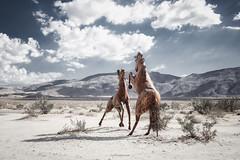 Stallion standoff (Jodi's Journeys) Tags: borrego springs desert horses galleta meadows sculptures canon jodinewellgmailcom jodis journeys