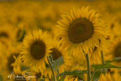 Sunflowers Galore. (NikonDigifan) Tags: sunflowers flowers farming goldenhour easternwashington nikon tamron150600g2 tamronlenses tamron mikegassphotography nikond500 deerpark spokane