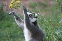 Maki catta (Passion Animaux & Photos) Tags: lemurien maki catta ringtailed lemur lemurcatta