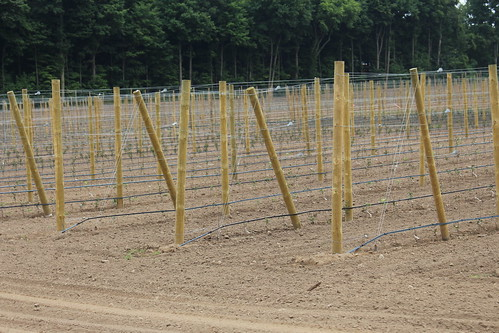 "An orchard planted with the ""Plant in place"" technique"