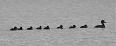 Tufted Duck and Ducklings in Line - Druridge (Gilli8888) Tags: nikon p900 coolpix nature countryside druridge druridgeponds wetlands northumberland birds blackandwhite silhouette silhouettephotography water waterbirds tuftedduck duck ducklings nine