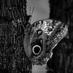 Peacock Butterfly (Beth Crawford 65) Tags: wildlife nature blackandwhite wings design bugs butterflies butterfly light lookphotographygallery bethcrawford beauty beautiful delicate exotic naturalillumination naturallight unique gaze