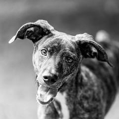 Captain_Morgan04Aug201828-Edit.jpg (fredstrobel) Tags: dogs pawsatanta phototype atlanta blackandwhite usa animals ga pets places pawsdogs decatur georgia unitedstates us