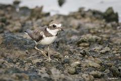 DSC_9176 (P2 New) Tags: 2017 animaux cayenne charadriidés charadriiformes date gravelotsemipalmé guyane lacrique novembre oiseaux pays