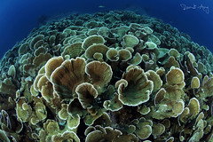 C A B B A G E (Randi Ang) Tags: parigi moutong parigimoutong central sulawesi tengah sulteng indonesia underwater scuba diving dive photography wide angle randi ang canon eos 6d fisheye 15mm randiang wideangle