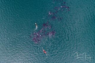 Herding whales