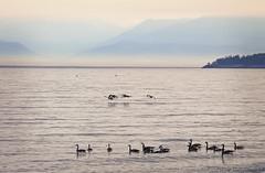 birds in the lagoon (axiepics) Tags: lagoon esquimaltlagoon victoria geese canadageese