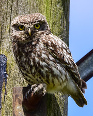 Little Owl (Terry Angus) Tags: