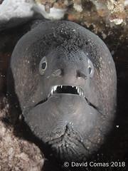 Roses - Cap Norfeu (CATDvd) Tags: canonpowershots120 fotosub underwaterphotography parcnaturalcapdecreus catalonia catalunya capnorfeu roses august2018 catdvd davidcomas httpwwwdavidcomasnet httpwwwflickrcomphotoscatdvd morenavera muraenahelena morayeel morena