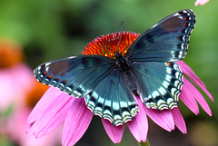 Red-spotted Admiral (TomIrwinDigital) Tags: butterfly coneflower ontario insect bug flower