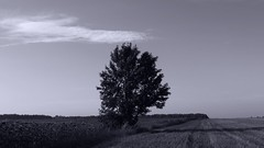 A lonely tree. (ALEKSANDR RYBAK) Tags: пейзаж дерево небо облако поле плантация одиночество монохром тень природа лето сезон погода солнечно ясно день landscape tree sky cloud field plantation loneliness monochrome shadow nature summer season weather sunny clear day grass