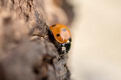Ladybird (d0mokun) Tags: macro sigma sigma105mm insect bug ladybird lady bird assassin
