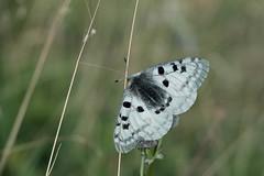 Apollon... (Gisou68Fr) Tags: apollon papillon butterfly parnassiusapollo jura doubs france montagne mountain