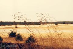 Veluwe fields (Luke Hermans Photography) Tags: veluwe field veld gras grass sand zand netherlands nederland nature natuur warm dry droog canon 750d