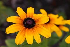 Macro20181 (Giocappe) Tags: macro flower nature natura fiori