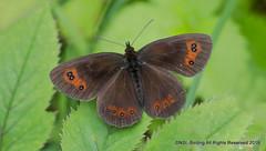 Scotch Argus (snapp3r) Tags: butterfly scotchargus smardalegill