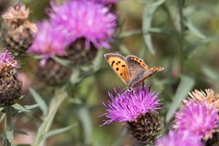 Small Copper (digiphill) Tags: 2018 august butterfly druridgebay druridgeponds lycaenaphlaeas northeast northumberland northumberlandcoastaonb smallcopper summer insect
