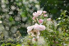 sweet summer rain (photos4dreams) Tags: mysecretgarden rose rain regen tropfen photos4dreams p4d photos4dreamz