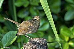 Young Poser (Knutsfordian) Tags: erithacusrubecula robin garden juvenile bird han thank than th