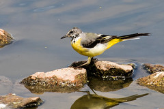 IMG_7793.jpg (TonyJ 3006) Tags: birds greywagtail places slimbridge