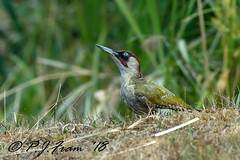 Look up... (Rat_Salad (sorry if too busy to play for a while..) Tags: canon1dx canonef600mmf4isusml forestfarm glamorgancanalreserve europeangreenwoodpecker picusviridis