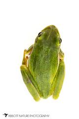 American green tree frog (Hyla cinerea) 20180708_2331 (Abbott Nature Photography) Tags: animals amphibiansamphibia frogsandtoadsanura hylidaetruefrogs neobatrachia organismseukaryotes photography technique vertebratavertebrates whiteseamlessbackground gordo alabama unitedstates us