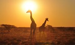 (Giulia La Torre) Tags: namibia africa nature wild travel traveling photography etosha national park etoshapark wildlife life fauna animali animals travelphotography giraffe giraffa giraffes sunset tramonto