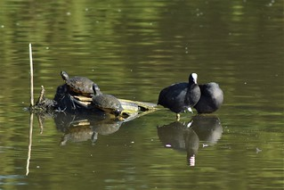 Terrapins with Coots