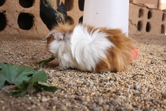 One of the garden's guinea pigs (Jiyan Foundation) Tags: jiyan foundation humanrights chamchamal kurdistan iraq irak healinggarden therapy rehabilitation guineapig meerschweinchen