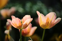 """""""Its not differences that divide us. It's our judgements about each other that do."""" (.:heartw sh*:.) Tags: gardensbythebay singapore tulips flowers macroflowers pink"""