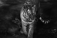 Tg Nbg                ins Licht ...              180604 (Eddy L.) Tags: tiergartennürnberg tiergartenfreundenürnbergev nuremberg tiger katinka ☆752011 amurtiger sibirischertiger pantheratigrisaltaica siberiantiger tigredesibérie amurskiytigr tigresiberiana tigresiberiano siberiantijger minoltaafhs28300mmg sonyalpha teamsony sonyphotographing schwarzweis blackandwhite monochrome noiretblanc biancoenero blanconegro blackwhite sw bw predator bigcat eddyl2018